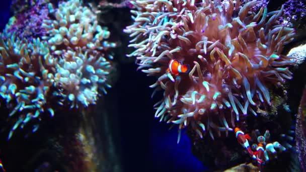 Sasanka ryby nebo ryby klaun. Akvárium nebo oceanárium, Fish Tank, korálový útes, zvířata