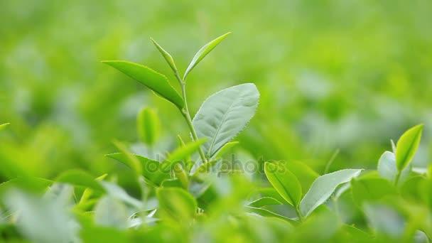 Foglie di tè fresco mattino sul campo della piantagione di tè