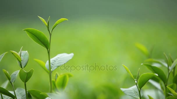 Čerstvé čajové lístky ráno na čajové plantáže pole