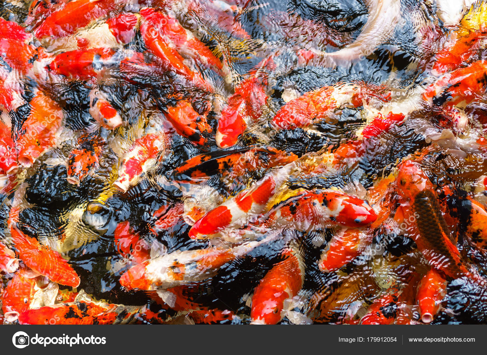 Colorful fancy Koi fish in the pond — Stock Photo © Naypong #179912054
