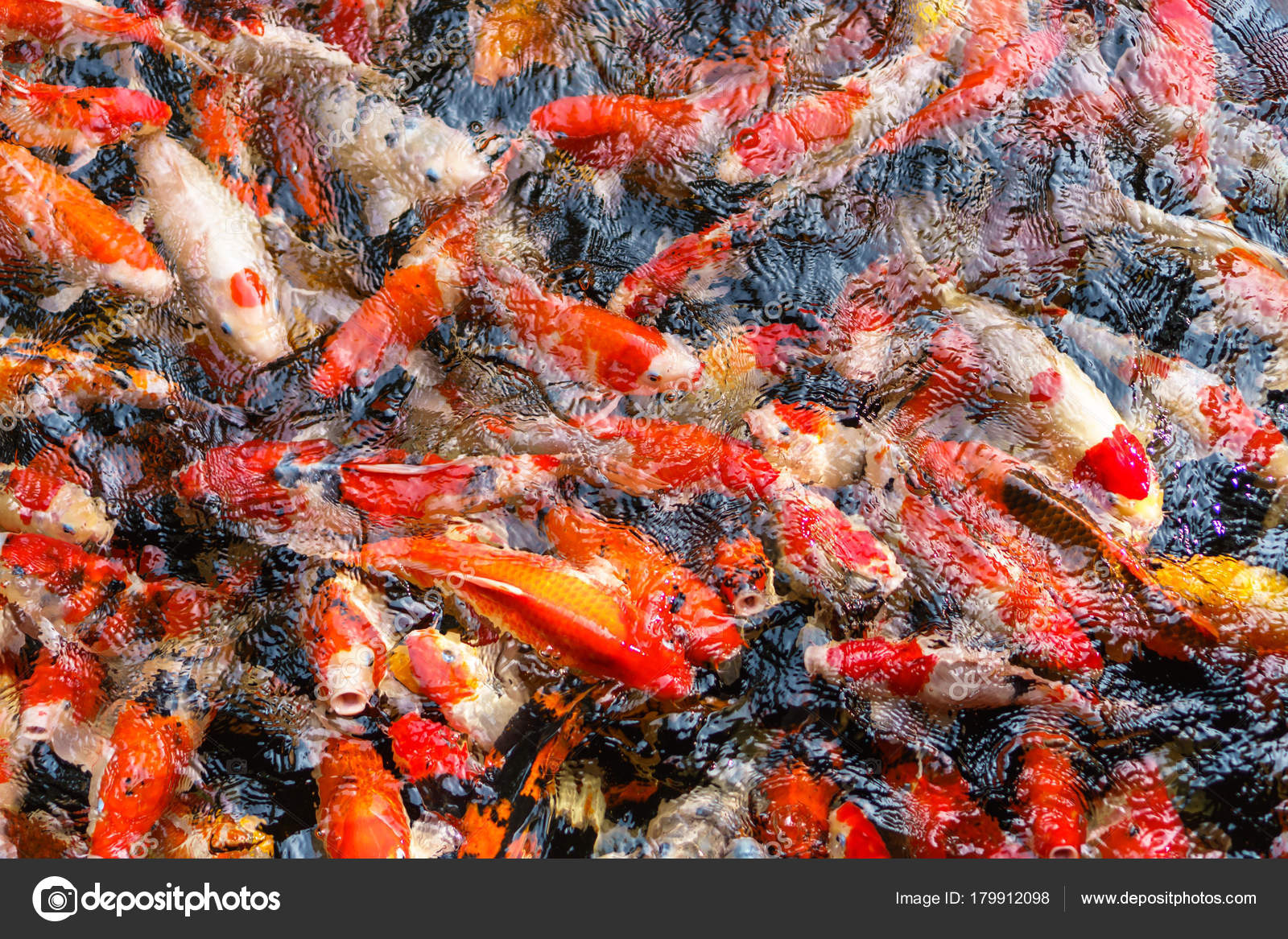 Colorful fancy Koi fish in the pond — Stock Photo © Naypong #179912098