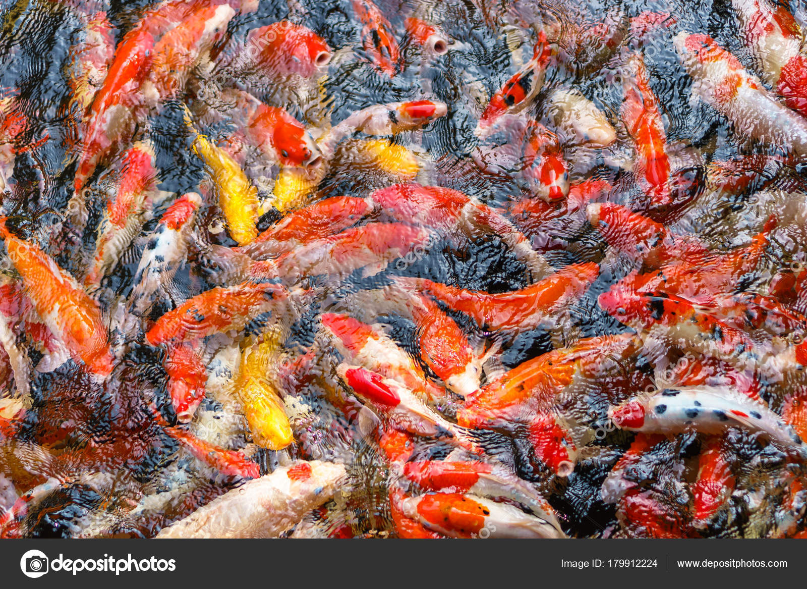 Colorful fancy Koi fish in the pond — Stock Photo © Naypong #179912224