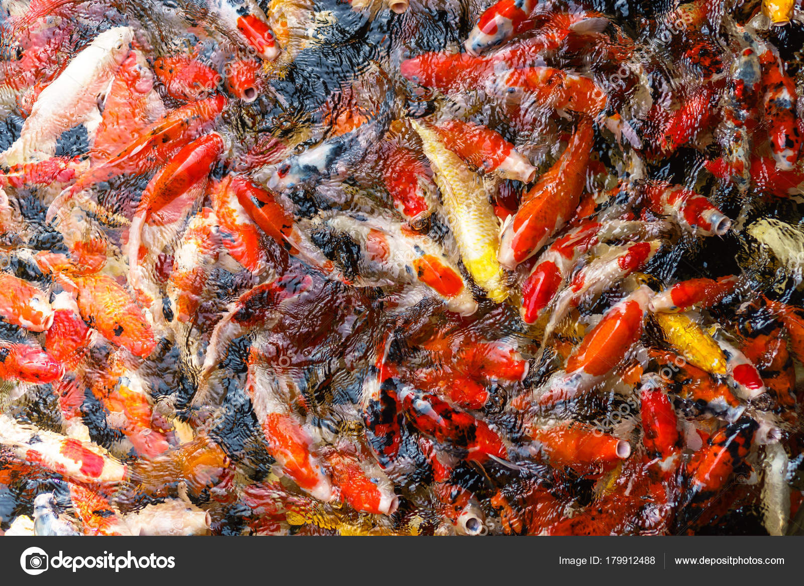 Colorful fancy Koi fish in the pond — Stock Photo © Naypong #179912488
