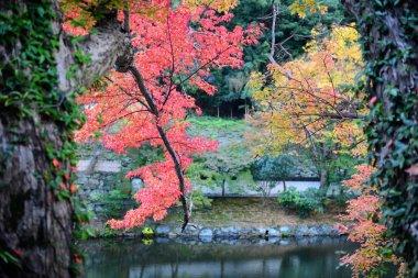 Japanese maple leaves at autumn season near the pond in Wakayama, Japan