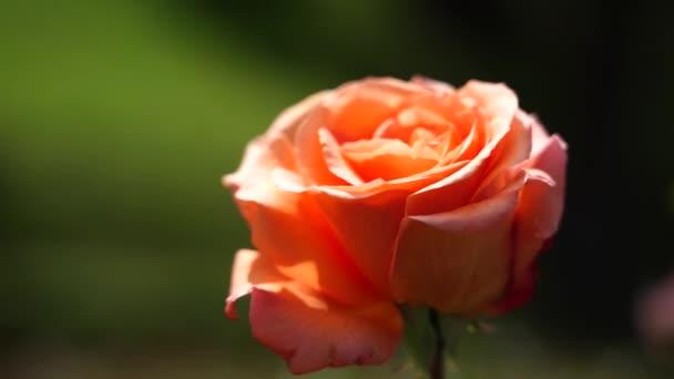 Rose bud. Krásná růže rostlina za slunečného a větrného dne; 4k viedo
