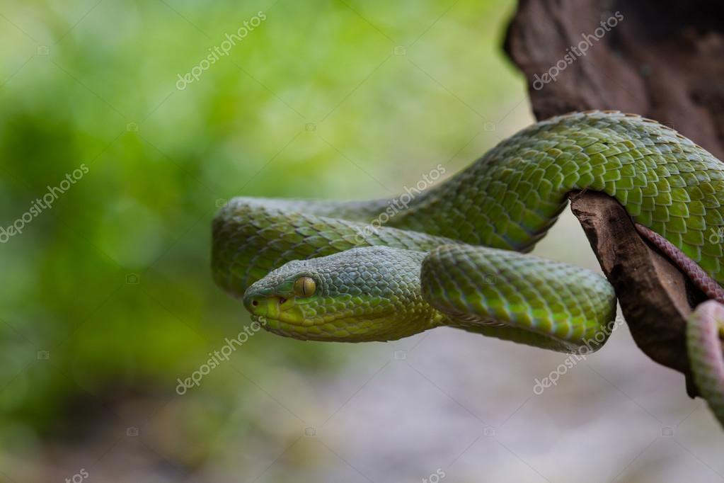 Yellow Viper Snake