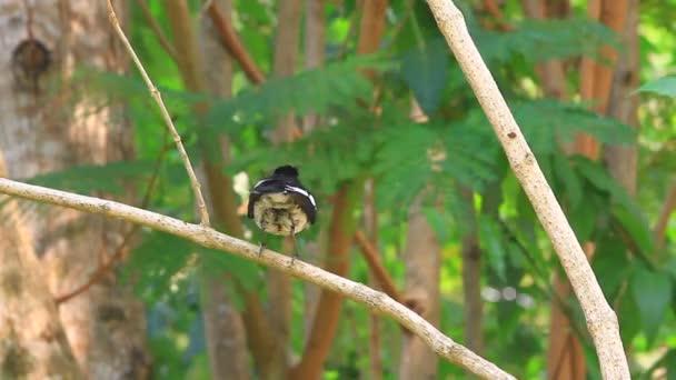 keleti Szarka robin madár