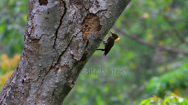 Greater Yellownape woodpecker bird