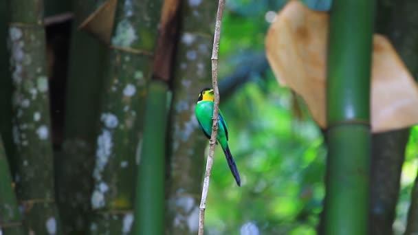 Uccello variopinto lungo tailed broadbill sulla filiale di albero