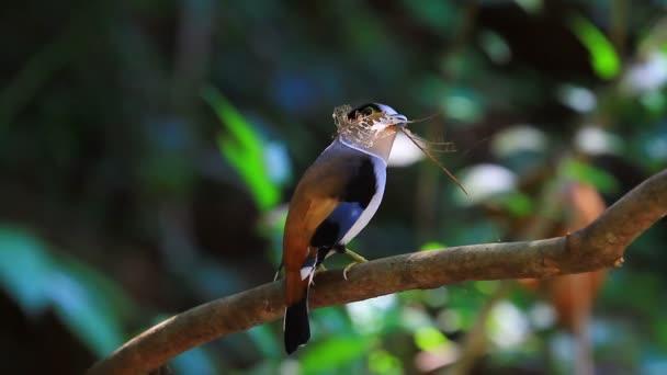 Uccello variopinto dal petto argento broadbil