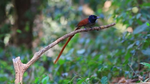 Berki paradicsom-légyvadász predellán egy ág