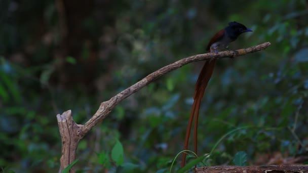 Pigliamosche del paradiso asiatico che si appollaia su un ramo