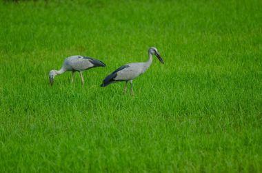 Open-billed stork on rice field