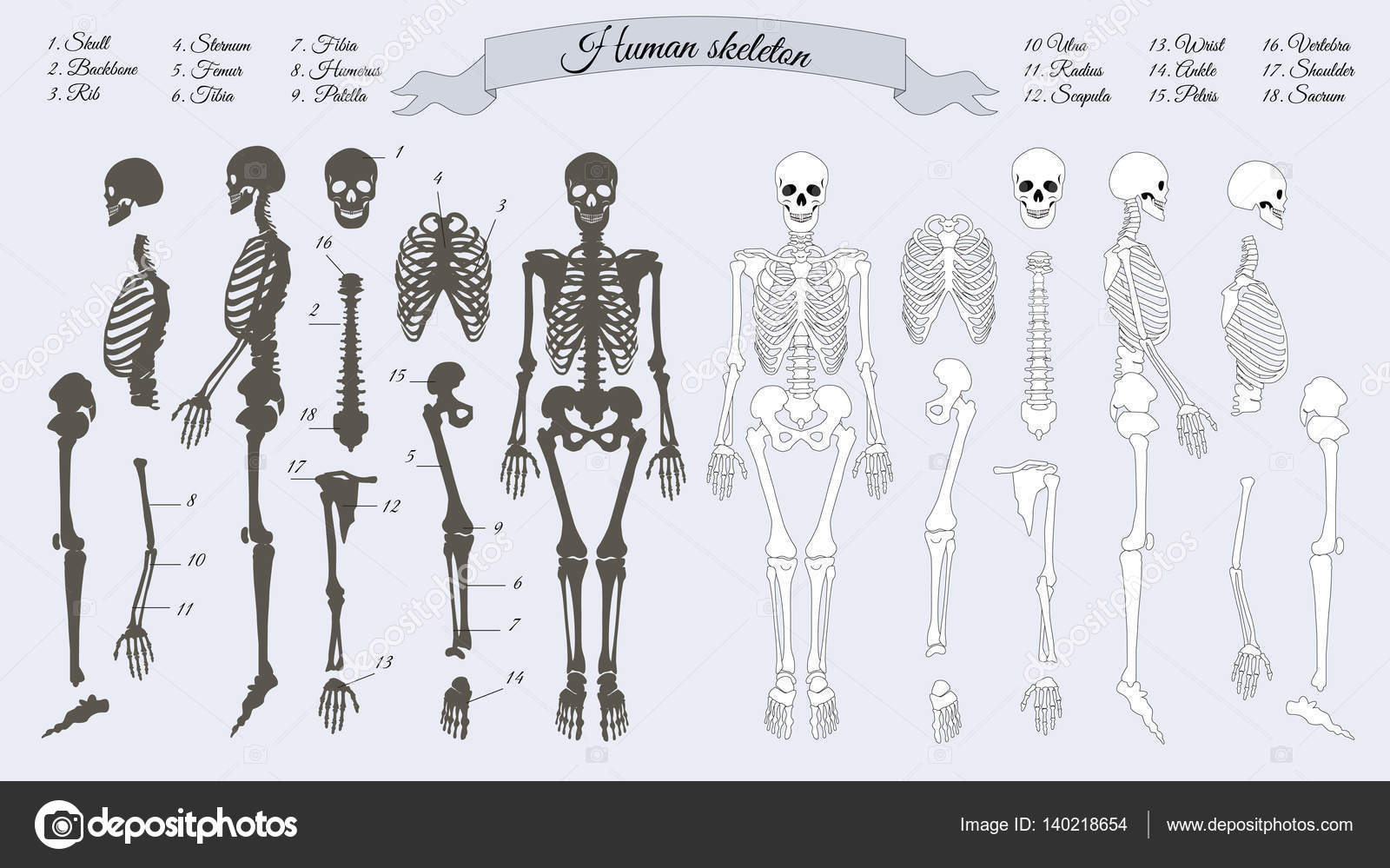 Human Skeleton White And Black Names Of Bones Stock Vector