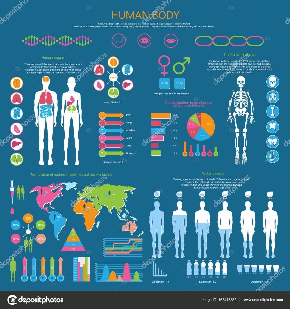 Cuerpo humano infografía detallada con estadísticas — Vector de ...
