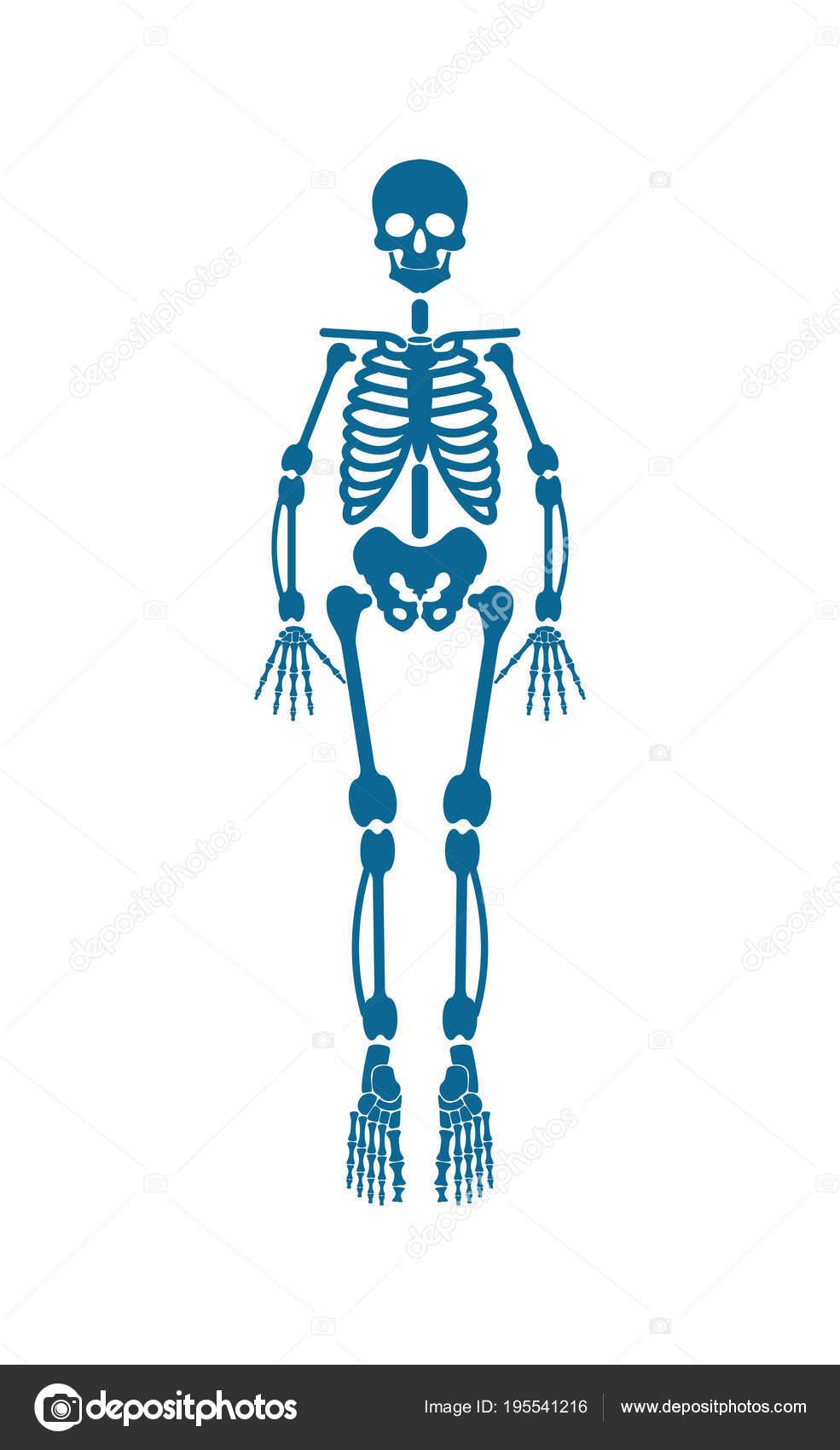 Esqueleto humano de la ilustración de Vector de Color azul — Archivo ...