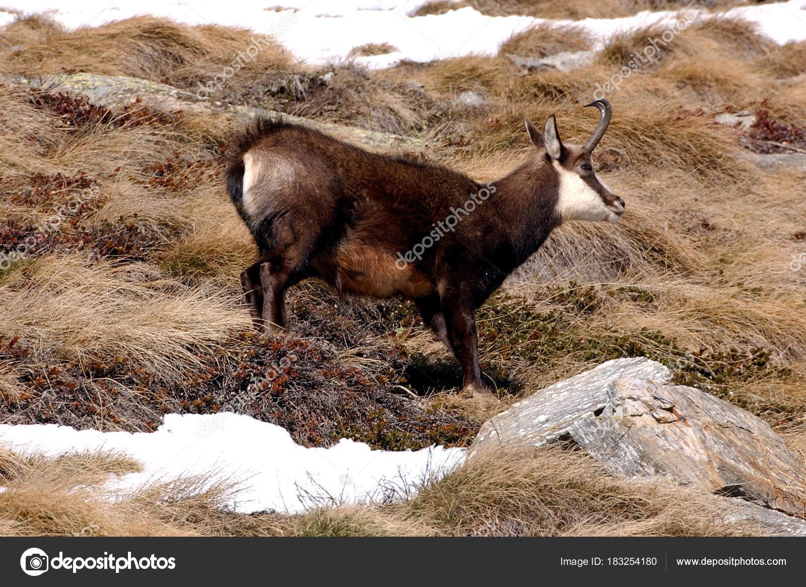 животное италии фото национальное