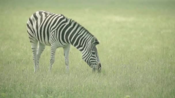 Zebra a terepen. Lassú mozgás.