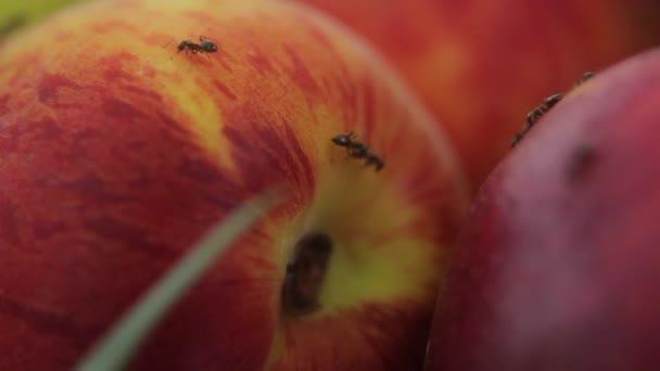 Ants on fruit. Close-up. Macro