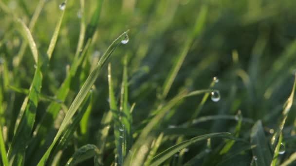 Kapky rosy na trávu. Detailní záběr.