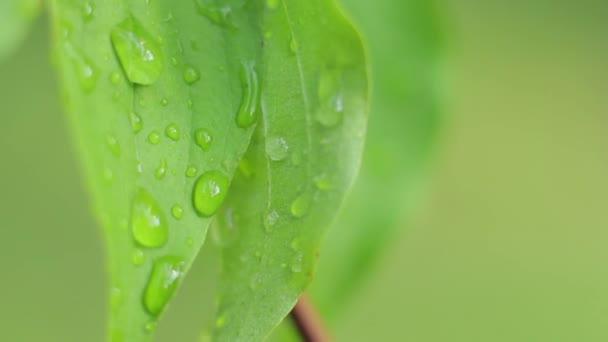 Dew on green leaf. Close-up