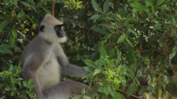 Animals of Sri Lanka. Monkey in the jungle. Close-up.