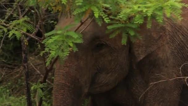 Zvířata ze Srí Lanky. Slon v džungli. Detailní záběr.