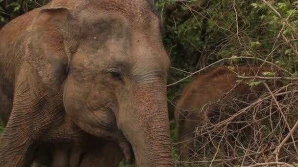 Srí Lanka-i állatok. Elefánt a dzsungelben. Közelkép.