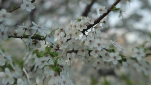 Branches of cherry blossoms in spring. Blooming cherry in spring.