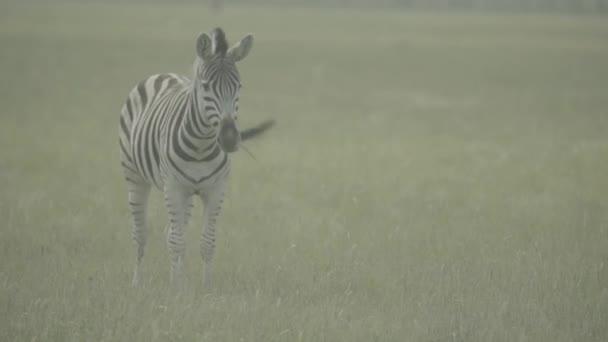 Zebra zebrák a terepen. Lassú mozgás.