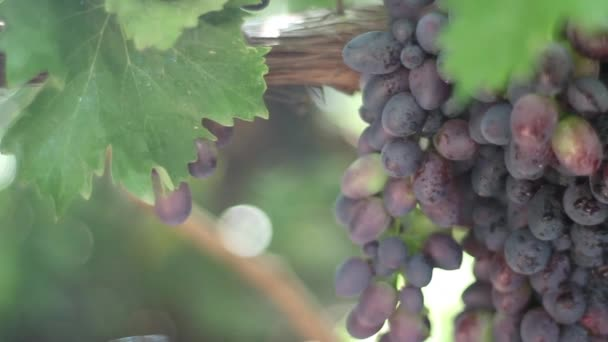 Grapes in the vineyard close-up. Ukraine
