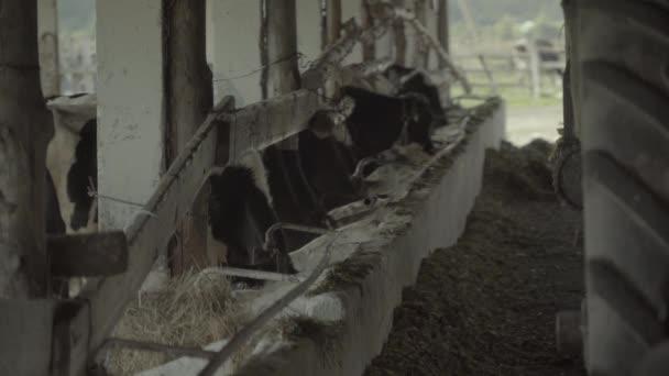 Kühe auf dem Hof. Landwirtschaft.