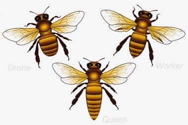 Set of Three Honey Bees. Queen and Worker and Drone. Detailed Ve