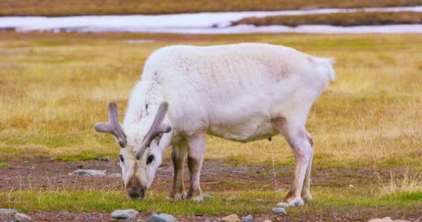 Nahaufnahme von Rentieren in der arktischen Natur