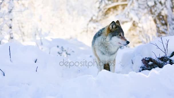 Wolf stojí v krásném zimním lese