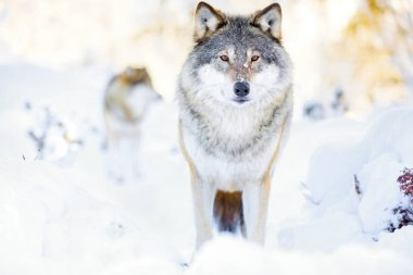 Two wolves in wolf pack in cold winter forest