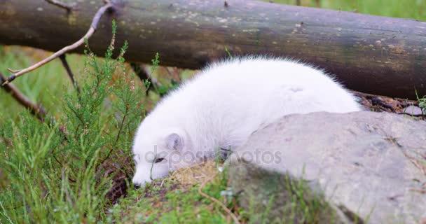 Bílá arktická liška lži a opěrky na lesní půdě v pozdní podzim