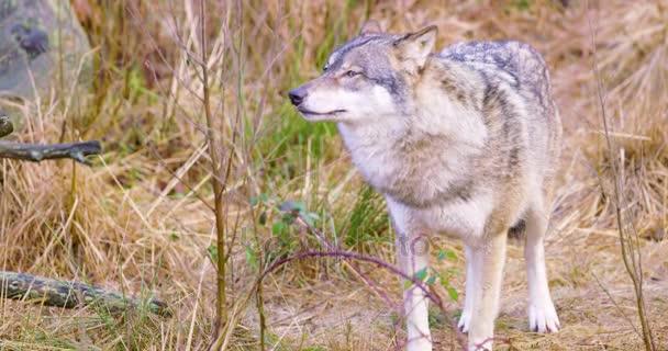 Egy szürke Farkas állandó és illata a fű