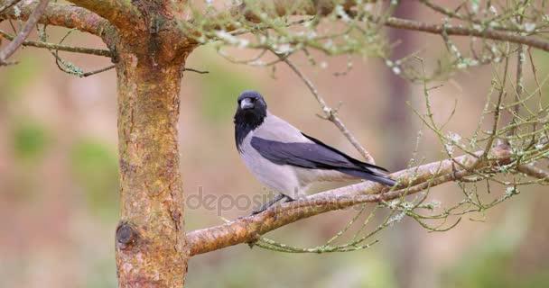 Szarka varjú madár ül egy ágon, egy fa