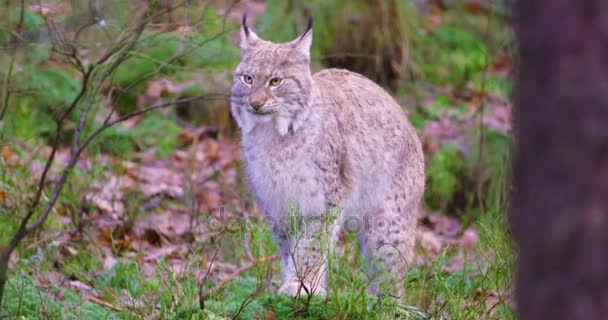 European lynx sits in the heather on the forest floor