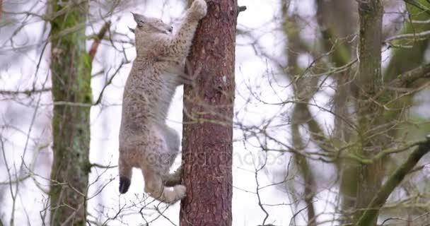 Lynx hravá kočka mládě lezení na stromě v lese