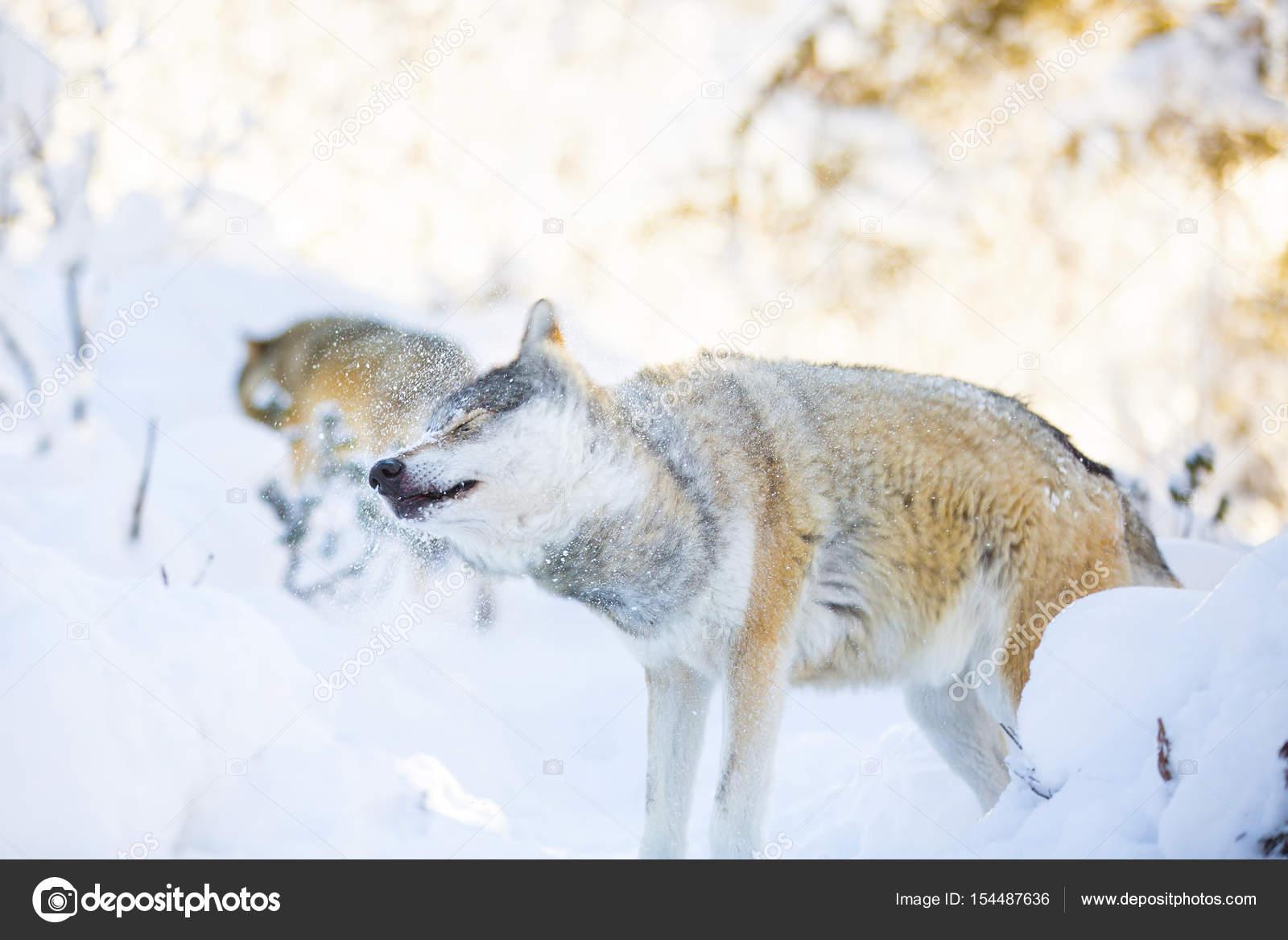 Imágenes Paisajes Hermosos Con Lobos Batido De Lobo De Nieve En