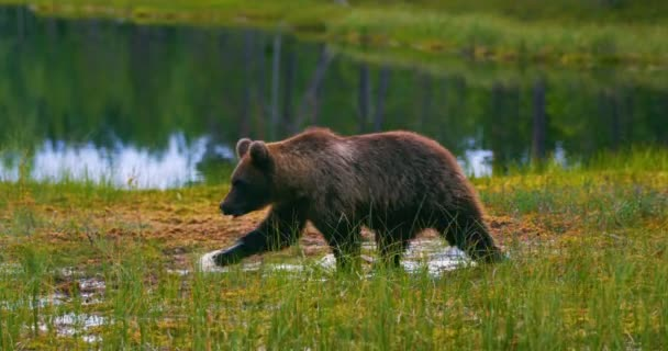 Young and scared brown bear cub running free in a swamp