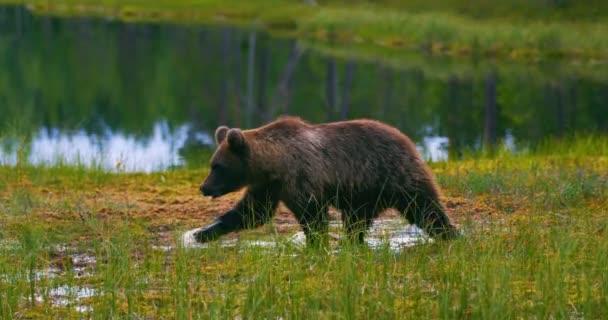 Mladí a strach brown medvídě běží zdarma v bažině