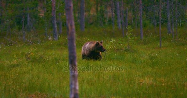 Mladá hnědý medvěd zdarma pěší v lese hledá jídlo