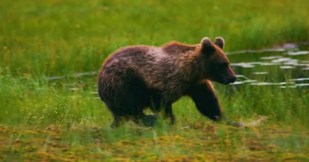 Young and playful brown bear cub running free in a swamp