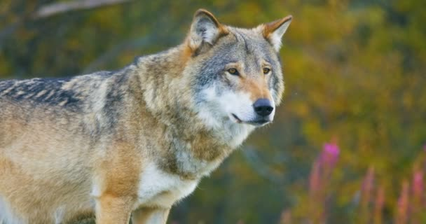 Detail z krásných šedý vlk stál v lese pozorování