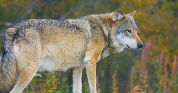 Közeli kép a gyönyörű szürke Farkas állt az erdő