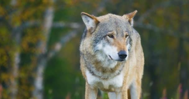 Nagy szürke Farkas szaga után a rivális, és a veszély az erdő