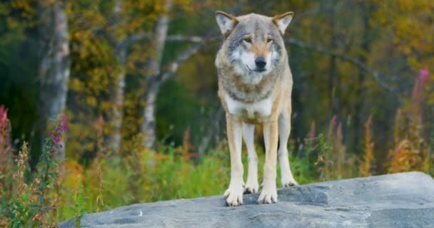 Pro dospělé šedý vlk stojící na skále v lese